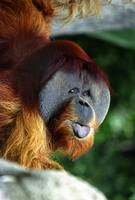 Old Man of the Forest (Orangutan)