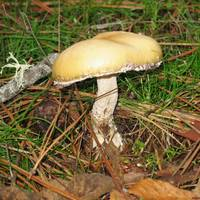 The Lake Mushroom