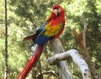 Red McCaw Parrot