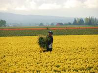 At work in the Skagit Valley Tulip field
