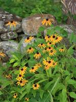 BLACK EYED SUSAN IMG_4046
