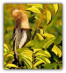 Anhinga in the Brush