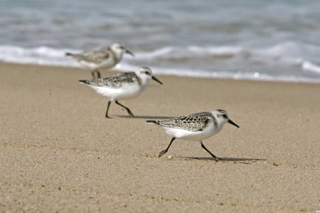 Cape Cod Sanderlings