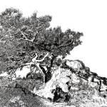 """Torrey pine tree by RD Riccoboni drawing"" by RDRiccoboni"