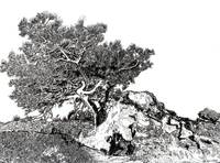 Torrey pine tree by RD Riccoboni drawing