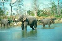 Endangered Indian Elephants