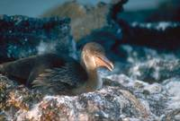 Endangered Flightless Cormorant Bird