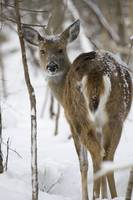 Deer in the Snow by Daniel Teetor