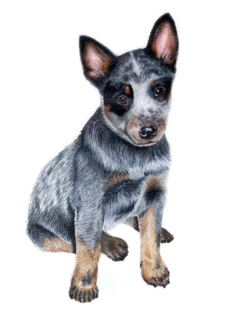 Stunning Quot Australian Cattle Dog Quot Drawings And