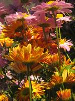 Pink and Orange Daisies