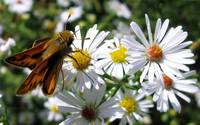 Daisies Flowers with Insect,