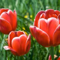 tulip greeting card Art Prints & Posters by Mike Smith
