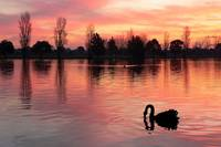 Black Swans at Dusk 1