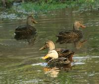 American Black Ducks