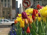 No left turning tulips allowed