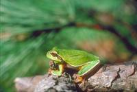 Endangered Pine Barrens Treefrog