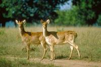 Endangered Barasingha Swamp Deer Hinds (Females)