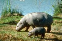 Endangered Pigmy Hippo Cow with Calf