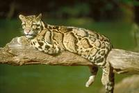 Endangered Clouded Leopard on Log