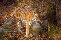 Endangered Bengal Tiger Standing in Forest