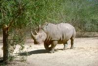 Endangered White Rhino