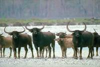 Endangered Wild Water Buffalo Herd
