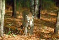 Endangered Florida Panther Cougar