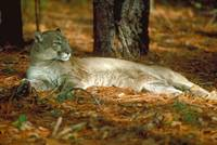 Endangered Florida Panther Cougar Lying Down