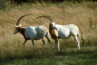 Endangered Scimitar Horned Oryx
