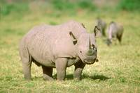 Endangered Black Rhino
