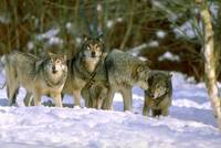 Pack of Endangered Gray Wolves