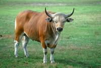 Endangered Adult Bull Banteng