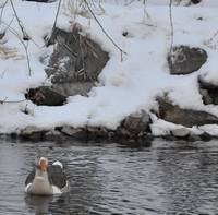 Goose in Snow