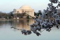 Jefferson Memorial Cherry Blossom sunset photo
