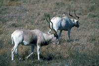 Endangered Addax in Field