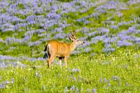 Wildflower Buck