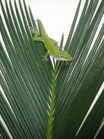 Anole With Palm - Assertive
