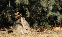 Easterm Cottontail Rabbit