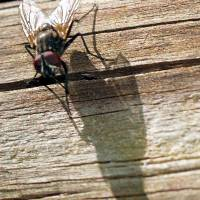The Fly's Shadow by Donnie Shackleford