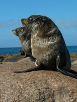NZ Fur Seal Pups