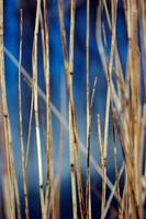Reeds, Somerset Levels (IMG_2184)