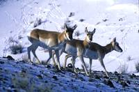 Yellowstone Pronghorns