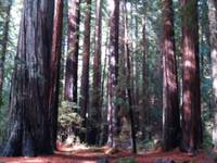 Ancient Old-Growth Redwood Forest