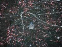 Bluejay in Crabapple