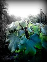 Mendoza Grape Leaves