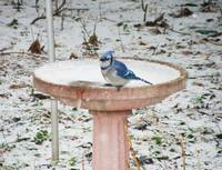 Bluejay in Winter