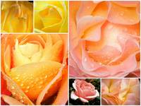Collage of Roses