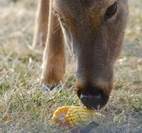 Doe With Corn