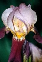 Light Purple Iris