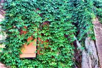 Vines and Shutter